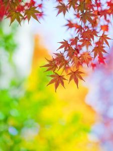 Autumnal Maple Trees