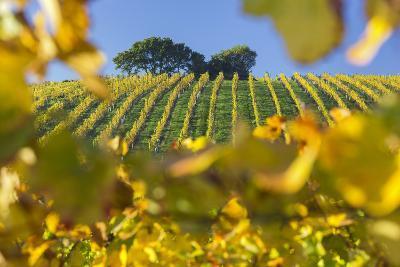 Autumnal Vineyards Between Gumpoldskirchen and Baden Bei Wien, Vienna Basin, Lower Austria, Austria-Rainer Mirau-Photographic Print