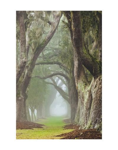 Avenue of Oaks-Barbara Northrup-Art Print