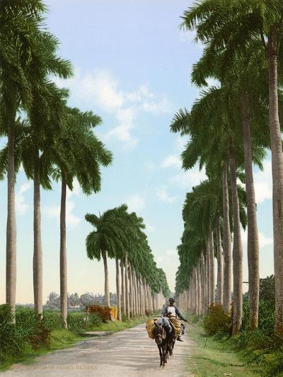 Avenue of Palms, Havana, 1903--Giclee Print