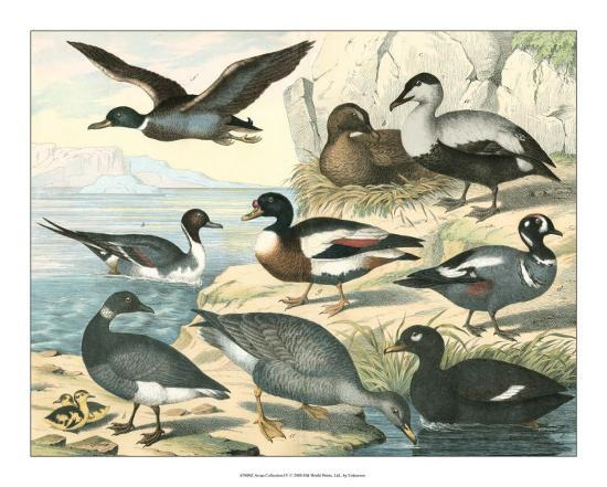 Avian Collection IV--Giclee Print