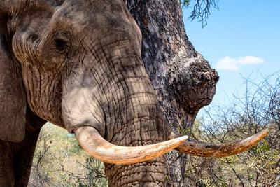 Awesome South Africa Collection - African Elephant VI-Philippe Hugonnard-Photographic Print