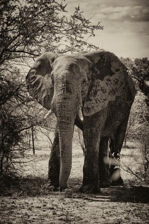 https://imgc.artprintimages.com/img/print/awesome-south-africa-collection-b-w-african-elephant-portrait_u-l-q120oyi0.jpg?p=0