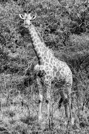 https://imgc.artprintimages.com/img/print/awesome-south-africa-collection-b-w-african-giraffe-iv_u-l-q120vy30.jpg?p=0