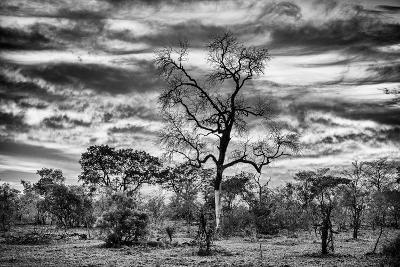Awesome South Africa Collection B&W - African Landscape with Acacia Tree II-Philippe Hugonnard-Photographic Print