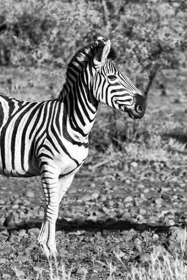 Awesome South Africa Collection B&W - Burchell's Zebra Portrait I-Philippe Hugonnard-Photographic Print