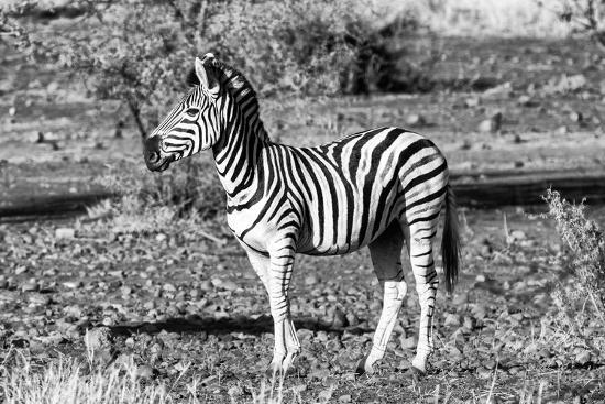 Awesome South Africa Collection B&W - Burchell's Zebra Portrait-Philippe Hugonnard-Photographic Print