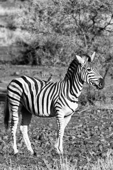 Awesome South Africa Collection B&W - Burchell's Zebra with Oxpecker IV-Philippe Hugonnard-Photographic Print