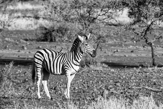 Awesome South Africa Collection B&W - Burchell's Zebra with Oxpecker-Philippe Hugonnard-Photographic Print