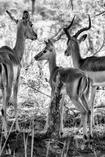 Awesome South Africa Collection B&W - Impalas Family II-Philippe Hugonnard-Photographic Print