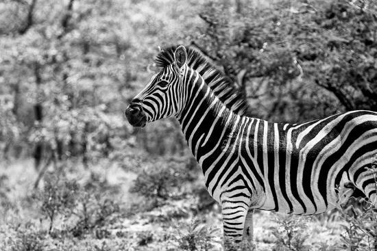 Awesome South Africa Collection B&W - Portrait of Burchell's Zebra I-Philippe Hugonnard-Photographic Print