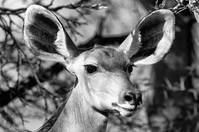 Awesome South Africa Collection B&W - Portrait of Nyala Antelope VI-Philippe Hugonnard-Photographic Print