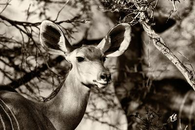 https://imgc.artprintimages.com/img/print/awesome-south-africa-collection-b-w-portrait-of-nyala-antelope_u-l-q120wce0.jpg?p=0