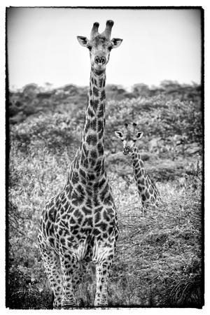 https://imgc.artprintimages.com/img/print/awesome-south-africa-collection-b-w-portrait-of-two-giraffes_u-l-q120j5c0.jpg?p=0