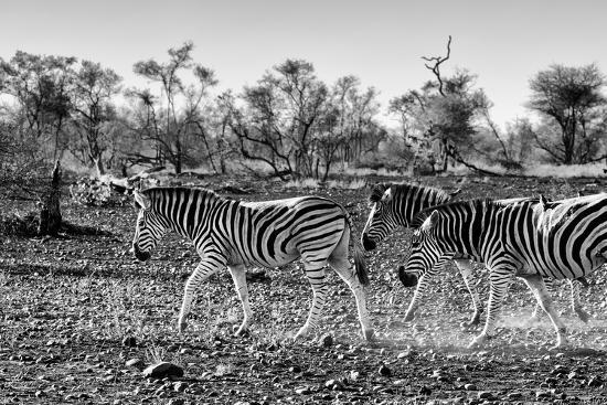 Awesome South Africa Collection B&W - Trio of Common Zebras III-Philippe Hugonnard-Photographic Print