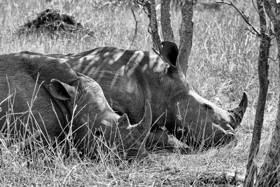 Awesome South Africa Collection B&W - Two White Rhino slepping-Philippe Hugonnard-Photographic Print