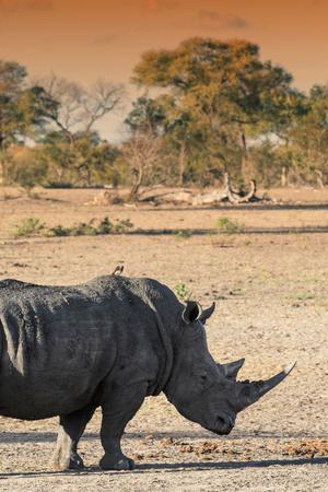 https://imgc.artprintimages.com/img/print/awesome-south-africa-collection-black-rhinoceros-and-savanna-landscape-at-sunset-i_u-l-q120s4i0.jpg?p=0