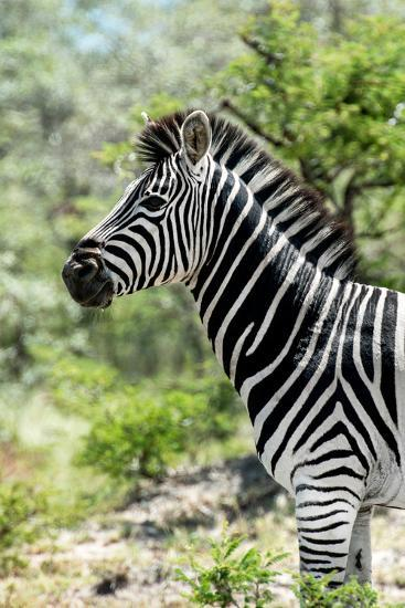 Awesome South Africa Collection - Burchell's Zebra X-Philippe Hugonnard-Photographic Print