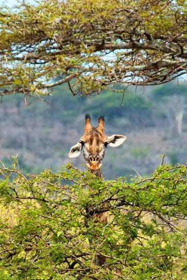 Awesome South Africa Collection - Curious Giraffe-Philippe Hugonnard-Photographic Print