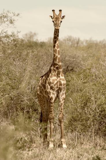 Awesome South Africa Collection - Giraffe I-Philippe Hugonnard-Photographic Print