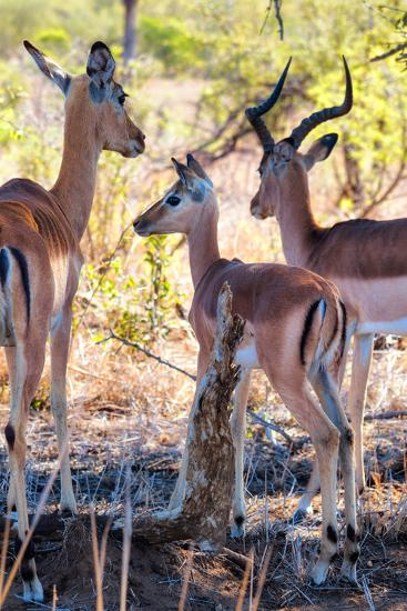 Awesome South Africa Collection - Impala Family I-Philippe Hugonnard-Photographic Print