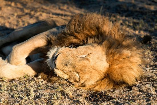 Awesome South Africa Collection - Lion Sleeping at Sunset I-Philippe Hugonnard-Photographic Print