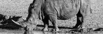 Awesome South Africa Collection Panoramic - Black Rhino B&W III-Philippe Hugonnard-Photographic Print