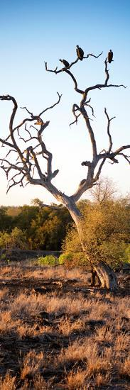 Awesome South Africa Collection Panoramic - Cape Vulture on a Tree at Sunrise-Philippe Hugonnard-Photographic Print