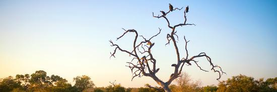 Awesome South Africa Collection Panoramic - Cape Vulture Tree at Sunset-Philippe Hugonnard-Photographic Print