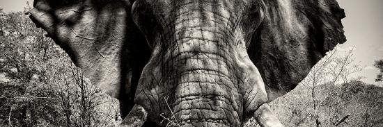 Awesome South Africa Collection Panoramic - Close-Up of Elephant II-Philippe Hugonnard-Photographic Print