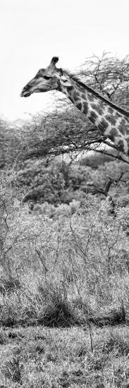 Awesome South Africa Collection Panoramic - Close-Up of Giraffe B&W-Philippe Hugonnard-Photographic Print