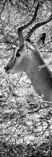 Awesome South Africa Collection Panoramic - Close-Up of Impala B&W-Philippe Hugonnard-Photographic Print