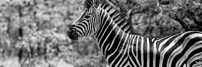 Awesome South Africa Collection Panoramic - Close-Up of Zebra B&W-Philippe Hugonnard-Photographic Print