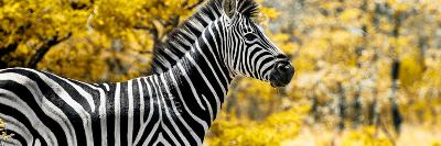 Awesome South Africa Collection Panoramic - Close-Up of Zebra with Yellow Savanna-Philippe Hugonnard-Photographic Print
