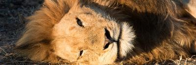 Awesome South Africa Collection Panoramic - Close-Up Portrait of a sleeping Lion-Philippe Hugonnard-Photographic Print