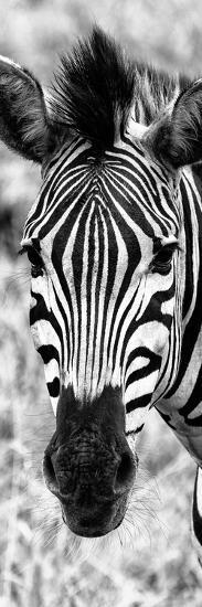 Awesome South Africa Collection Panoramic - Close-up Zebra Portrait B&W-Philippe Hugonnard-Photographic Print