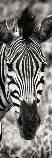 Awesome South Africa Collection Panoramic - Close-up Zebra Portrait II-Philippe Hugonnard-Photographic Print