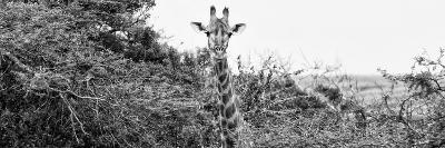 Awesome South Africa Collection Panoramic - Curious Giraffe B&W-Philippe Hugonnard-Photographic Print