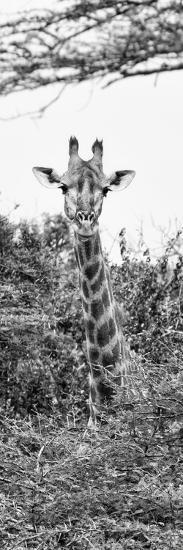 Awesome South Africa Collection Panoramic - Curious Giraffe II B&W-Philippe Hugonnard-Photographic Print