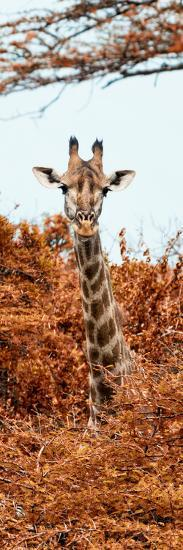 Awesome South Africa Collection Panoramic - Curious Giraffe with Red Savanna II-Philippe Hugonnard-Photographic Print