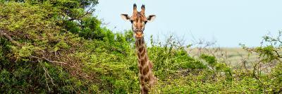 Awesome South Africa Collection Panoramic - Curious Giraffe-Philippe Hugonnard-Photographic Print