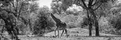 Awesome South Africa Collection Panoramic - Giraffe in the Savanna B&W-Philippe Hugonnard-Photographic Print