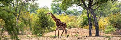 Awesome South Africa Collection Panoramic - Giraffe in the Savanna-Philippe Hugonnard-Photographic Print