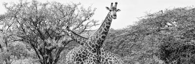 Awesome South Africa Collection Panoramic - Giraffes in Savannah III B&W-Philippe Hugonnard-Photographic Print