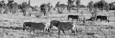 Awesome South Africa Collection Panoramic - Herd of Burchell's Zebras B&W-Philippe Hugonnard-Photographic Print