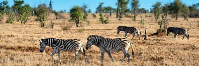 Awesome South Africa Collection Panoramic - Herd of Burchell's Zebras-Philippe Hugonnard-Photographic Print