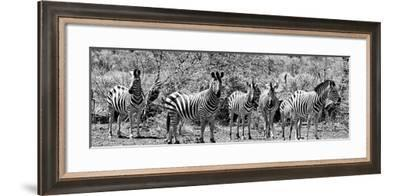 Awesome South Africa Collection Panoramic - Herd of Zebras B&W-Philippe Hugonnard-Framed Photographic Print