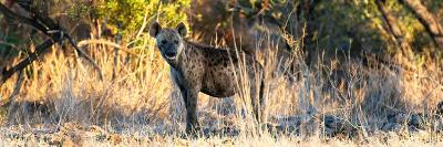 Awesome South Africa Collection Panoramic - Hyena at Sunrise-Philippe Hugonnard-Photographic Print