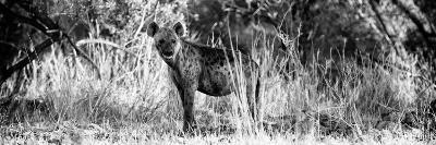 Awesome South Africa Collection Panoramic - Hyena B&W-Philippe Hugonnard-Photographic Print