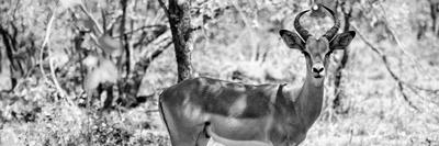 Awesome South Africa Collection Panoramic - Impala Portrait B&W-Philippe Hugonnard-Photographic Print